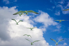 Frigatebirds Stock Photos