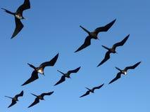 Frigatebirds in the Galapagos Archipelago. Frigatebirds flying over the sea, in the Galapagos Archipelago, Ecuador, South America stock photography