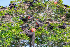 Frigatebirds in a Tree. Male frigatebirds in a mangrove in the Sian Kaan Biosphere Reserve near Tulum, Mexico Royalty Free Stock Images