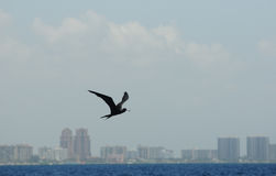 Frigatefågelflyg över hav nära kustlinjen Arkivbild