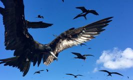 Frigates In Flight. Birds in the Tropics,   Frigate Birds Mesting, Birds in flight,, Isla Isabel, Mexico, Galapagos Royalty Free Stock Photo