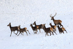 Frighten hind of red deer in snow Royalty Free Stock Photography