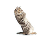 Frightened or amazed standing brittish kitten Stock Photo