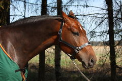 Frightened bay horse in green coat portrait in sum Royalty Free Stock Photos