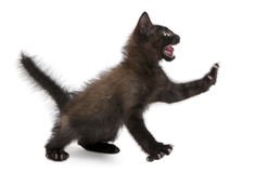 Frightened black kitten standing Stock Image