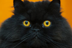 Frightened black male cat at orange background Royalty Free Stock Photos