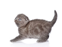 Frightened british shorthair kitten. isolated on white backgroun Stock Images