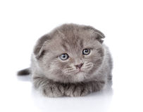 Frightened british shorthair kitten looking away.  on wh Royalty Free Stock Photo