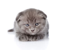 Frightened british shorthair kitten looking at camera. isolated Royalty Free Stock Image