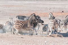 Frightened Burchells Zebras Equus quagga burchellii at a water. Hole in Northern Namibia Royalty Free Stock Photography