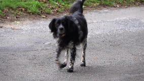 Frightened dog black white Spaniel