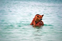 Frightened dog in the hands of the owner in the sea. The dog looks at the camera sitting on the hands men walked into the water. stock image