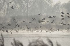 A frightened flock of ducks taking off from a pond. A frightened flock of ducks taking off from a misty pond Royalty Free Stock Photo