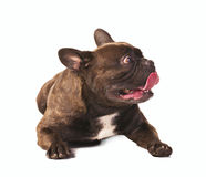 Frightened french bulldog Stock Photography