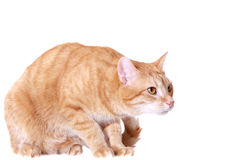 The frightened ginger cat Stock Image