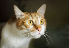 Frightened ginger cat with big eyes, cat face. Stock Photos