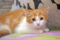 Frightened ginger kitten Royalty Free Stock Photo