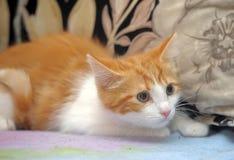 Frightened ginger kitten Stock Image