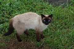 Frightened gray brown cat standing in green grass Stock Photo