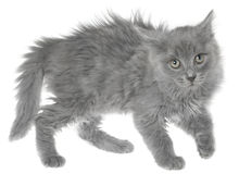 Frightened gray kitten isolated Stock Photography