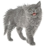 Frightened gray kitten isolated Royalty Free Stock Photos