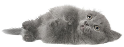 Frightened gray kitten isolated Stock Photo