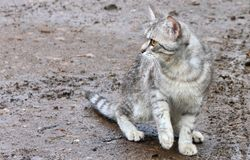 Frightened grey kitten Royalty Free Stock Image