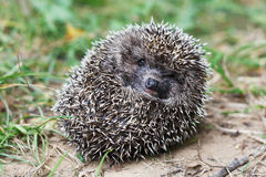 Frightened hedgehog Royalty Free Stock Image