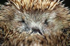 Frightened hedgehog Stock Photos