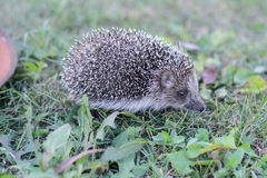 Frightened hedgehog running on green grass. The hedgehog is running on the grass Royalty Free Stock Photos