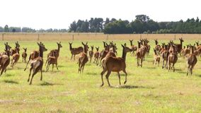Frightened herd of deer, argodom, stock video footage
