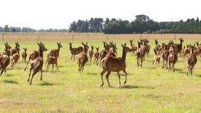 Frightened herd of deer, argodom,