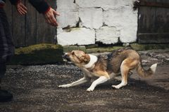 A frightened homeless dog on the street. A dog is afraid of a person royalty free stock image