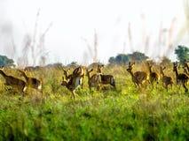 Frightened Impala antelopes running on African savanna, Kenya Stock Photo