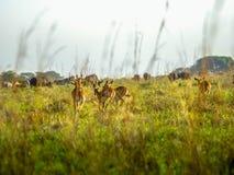 Frightened Impala antelopes running on African savanna, Kenya Royalty Free Stock Image