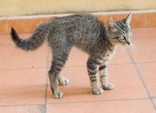 A frightened kitten. And bristling on a tile background stock photo