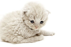 Frightened kitten looking down Royalty Free Stock Photo