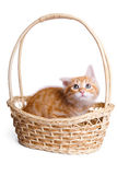 Frightened little kitten  in straw basket. Stock Photography