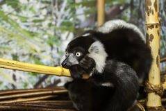 Lemur. From madagascar.frightened glance