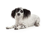 Frightened Looking Papillon Mixed Breed Dog Royalty Free Stock Photo