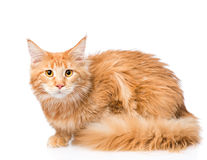 Frightened maine coon cat. isolated on white background Royalty Free Stock Photography