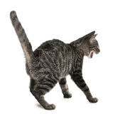 Frightened Mixed-breed cat, Felis catus royalty free stock images