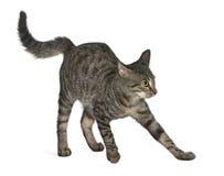 Frightened Mixed-breed cat, Felis catus Royalty Free Stock Image