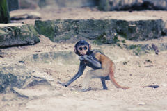 Frightened monkey. Monkey protecting some food in his hand and looking cautious Royalty Free Stock Image