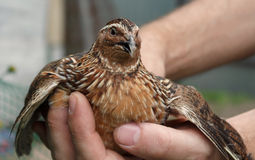 Frightened quail in human hands Stock Photo