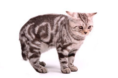 Frightened scottish fold kitten curved a back. Frightened scottish fold kitten has curved a back against white background Royalty Free Stock Photos