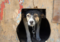 Frightened small dog in a kennel Royalty Free Stock Image