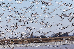 Frightened Snow Geese (Chen caerulescens) Stock Photography