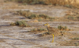 Frightened Stone curlew. A startled and frightened stone curlew (Burhinus oedicnemus) is looking around on the field Royalty Free Stock Photos