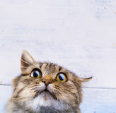 Frightened and surprised Gray cat looking up with wide-open eyes Stock Image